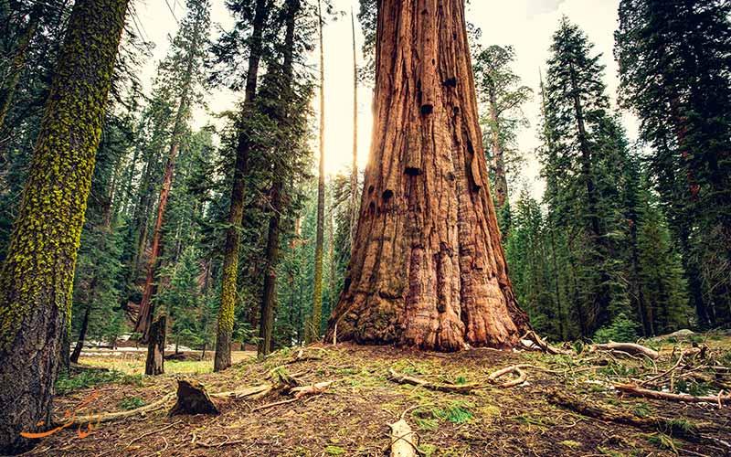 درخت سکویا