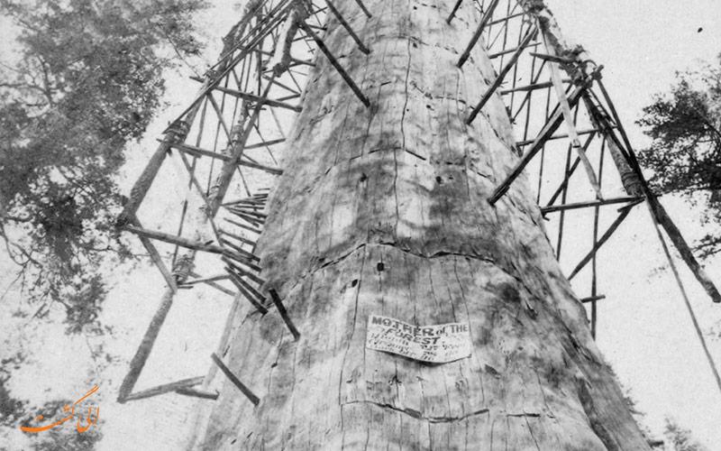 درخت سکویا | مادر جنگل