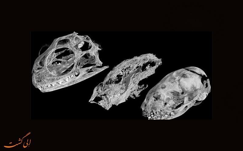 کشف فسیل موش