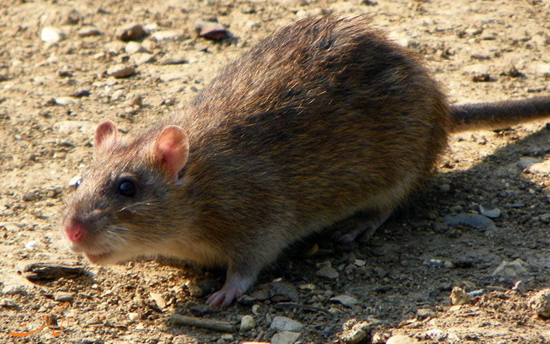 فسیل موش