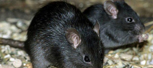 کشف فسیل موش 184 میلیون ساله که تخم گذار بوده است!