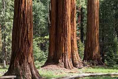 درخت سکویا پارک ملی یوسمیت