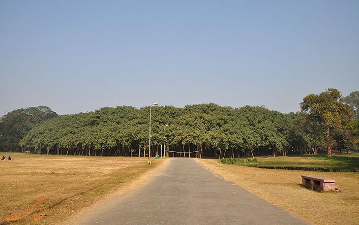 درخت لور هند
