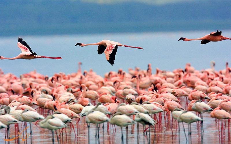 تماشای فلامینگوها در کنیا