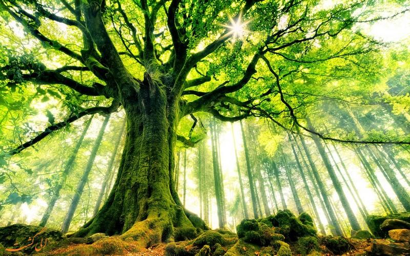 جنگل زیبای راش در سوادکوه
