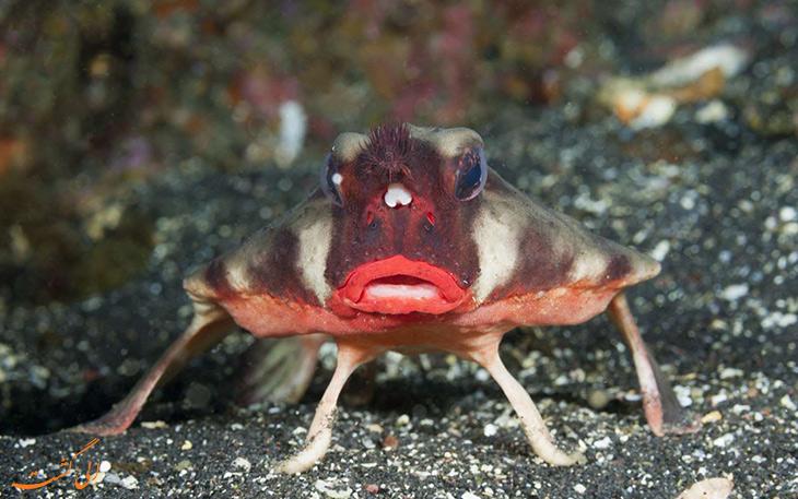 خفاش ماهی