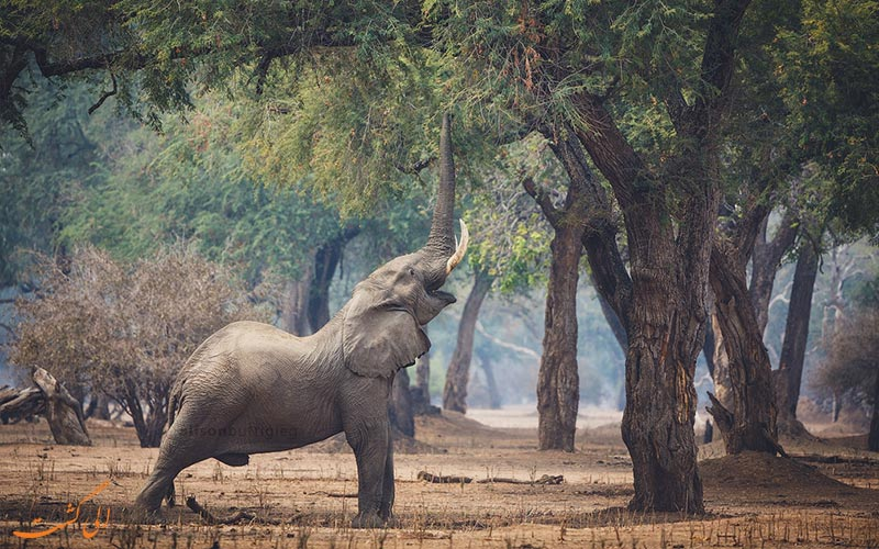 جابه جایی فیل