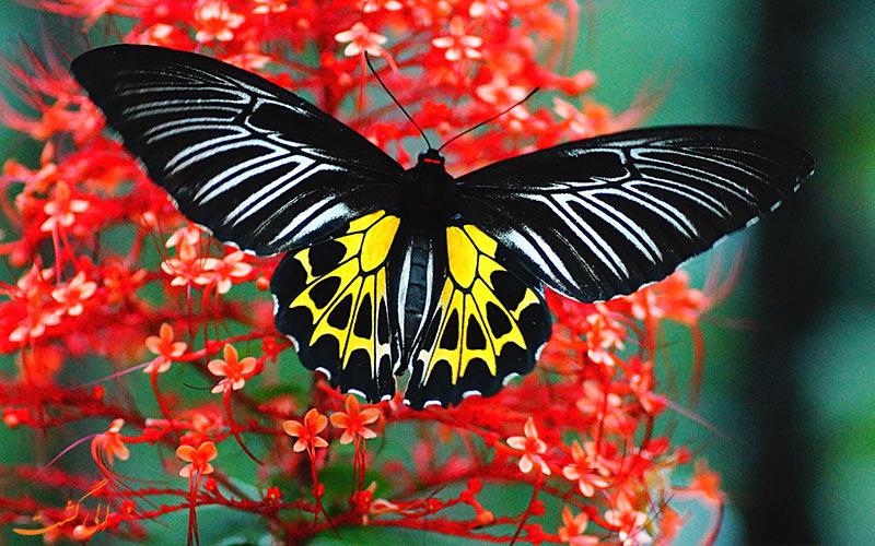 انوع پروانه ها