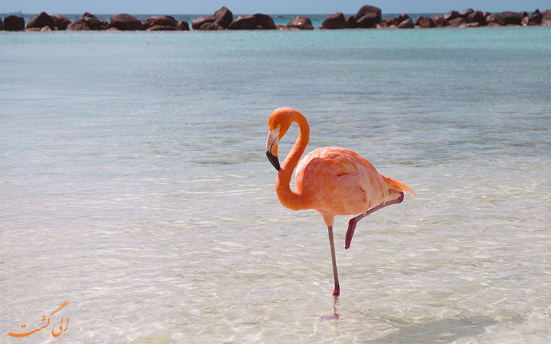 پرنده فلامینگو-تنها