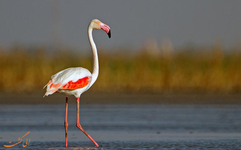 پرنده فلامینگو سفید و صورتی