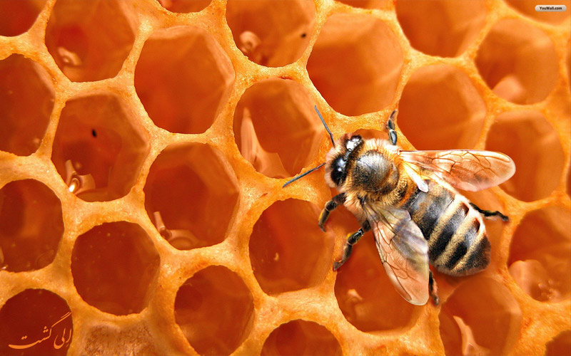 بهترین عسل های ایران-عسل کوهی