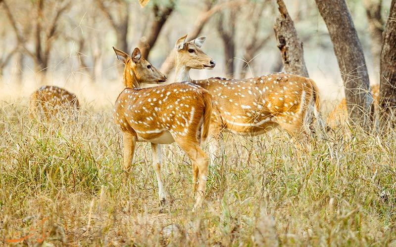 سافاری پارک ملی رامتانبور
