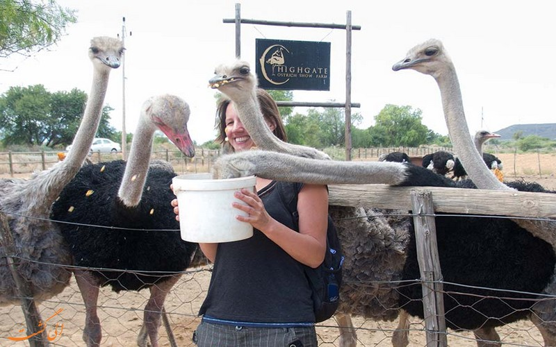 مزارع شتر مرغ
