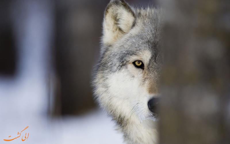 راه های مقابله با حمله گرگ