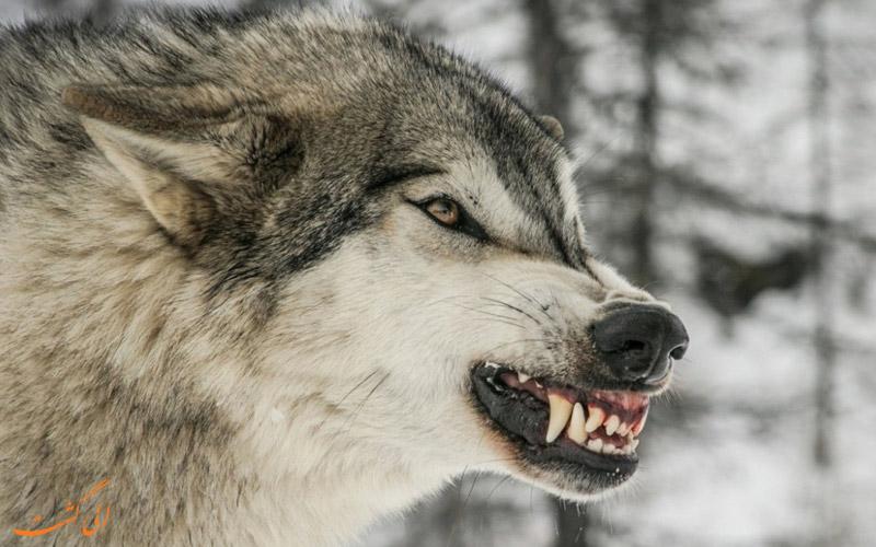 راه های مقابله با حمله گرگ در طبیعت