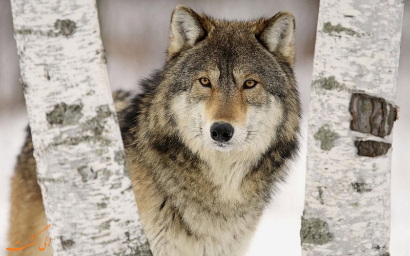 روش های مقابله با حمله گرگ