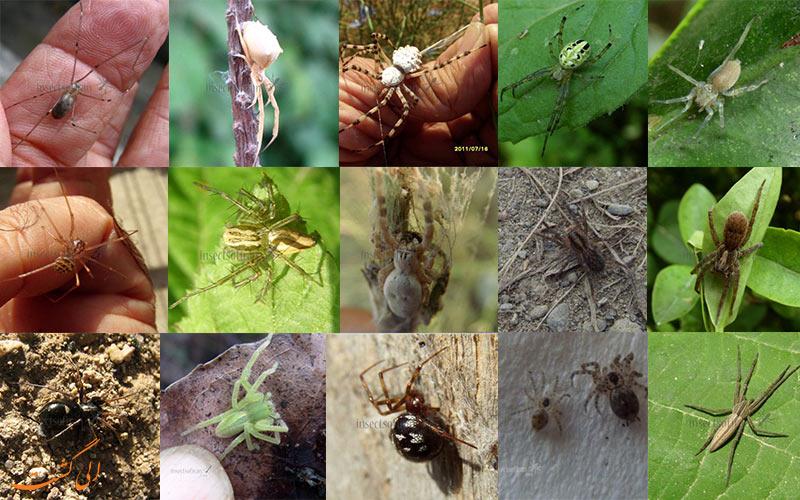 عنکبوت ها و رتیل های ایران