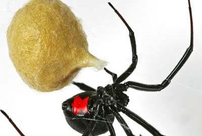 انواع عنکبوت ها و رتیل های ایران-الی گشت