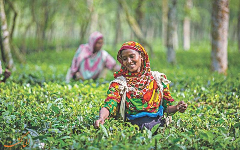 بهترین مزارع چای جهان - بنلادش
