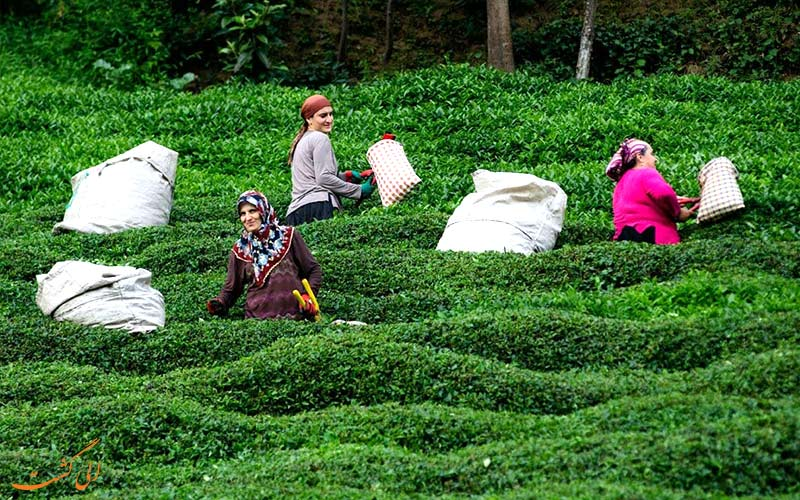 بهترین مزارع چای جهان-ترکیه