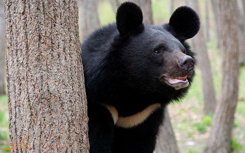 خرس سیاه آسیایی در ایران