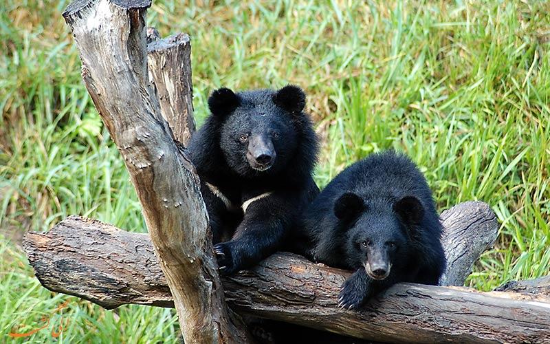 خرس سیاه آسیایی در حال انقراض