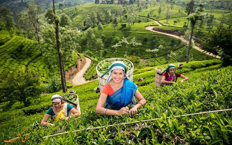 مزارع چای در سریلانکا