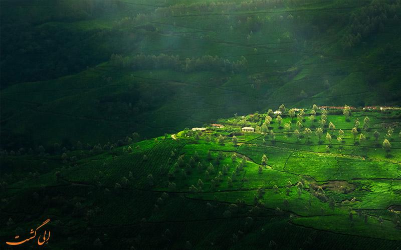 نمایی از مزارع چای هند