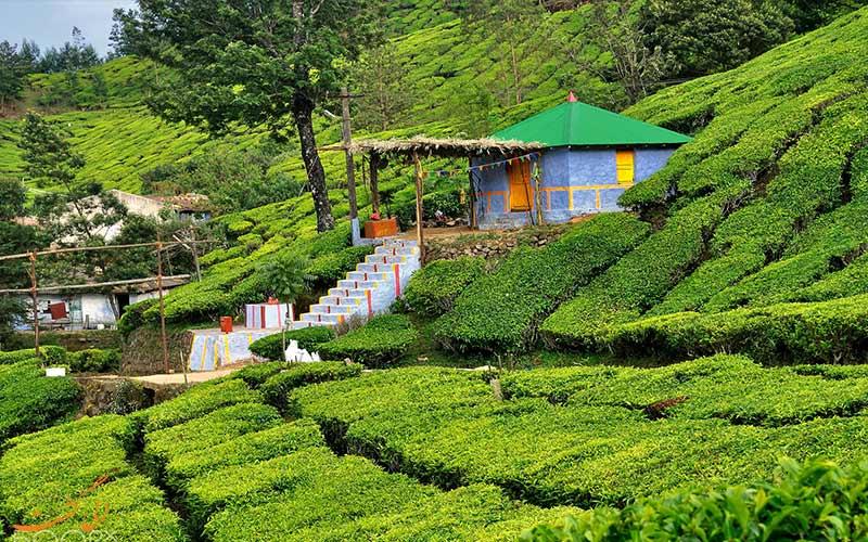 زندگی در مزارع چای