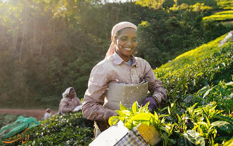 مزارع چای هند و کشاورزان
