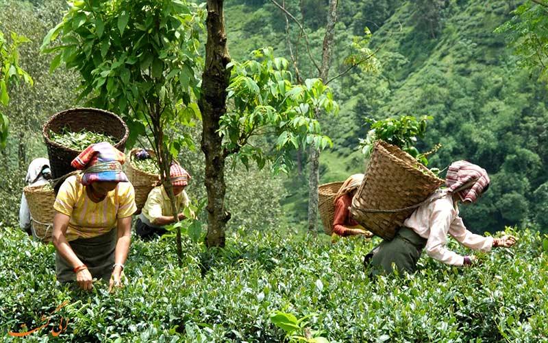 میانمار-مزارع چای