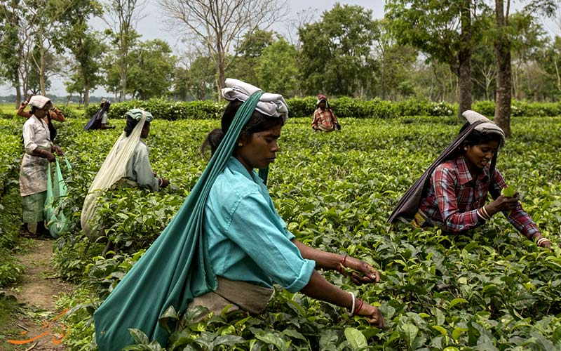 هند-دمنوش و چای دارجلینگ
