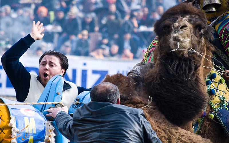 داور مسابقه کشتی شترها در ترکیه