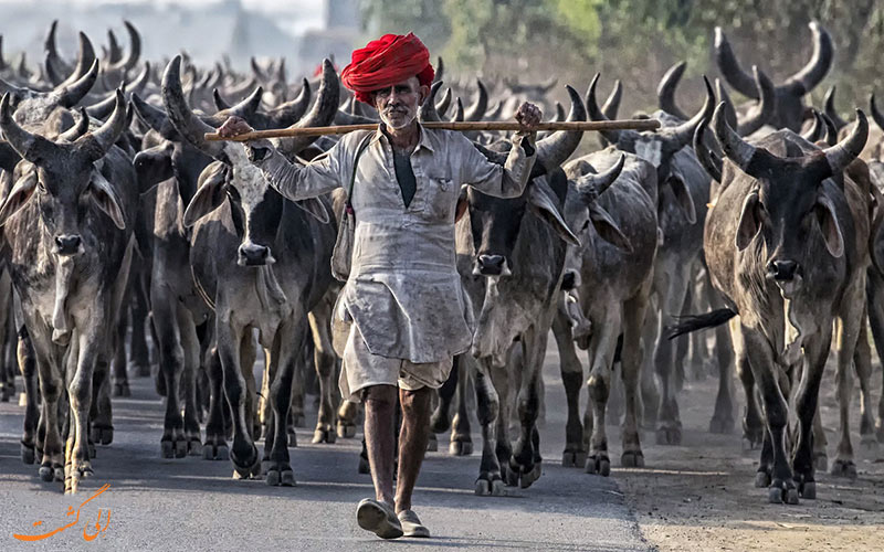 مردان گله دار عشایر رابادی هند