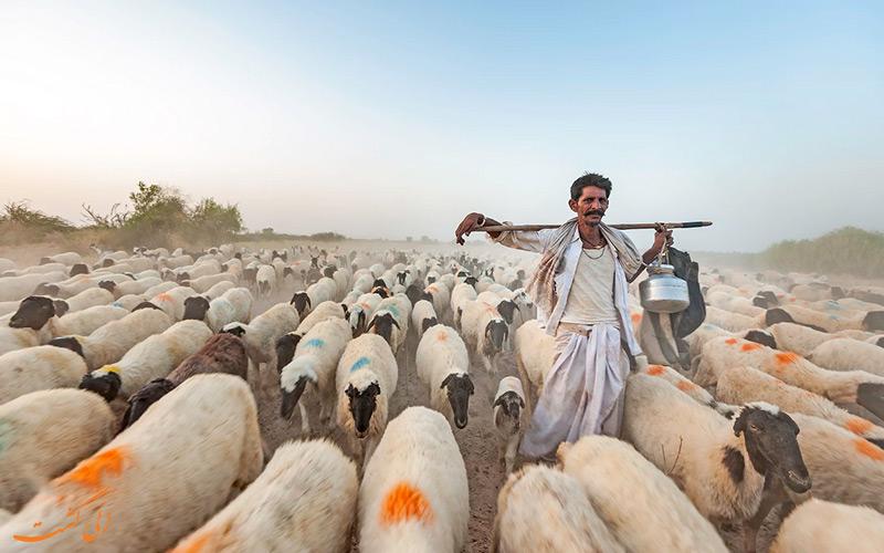 چوپان در عشایر رابادی هند