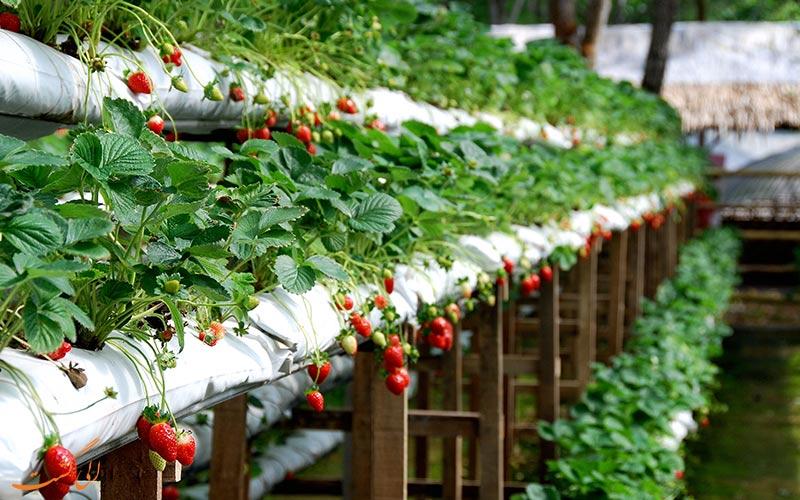 مزرعه تفریحی توت فرنگی گنتینگ مالزی