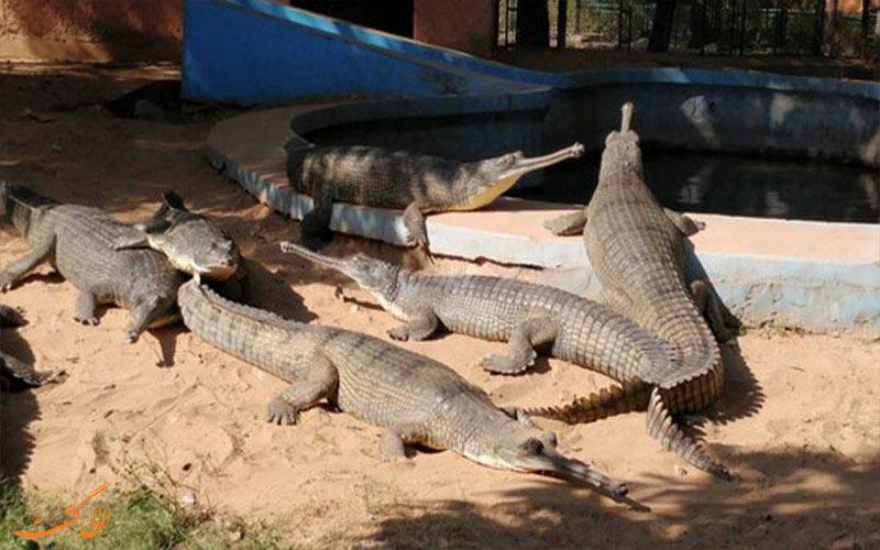 گونهی نادری از تمساح در باغ وحش جیپور