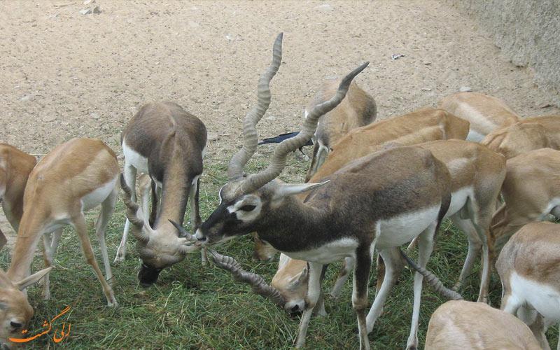 غزالهای باغ وحش جیپور