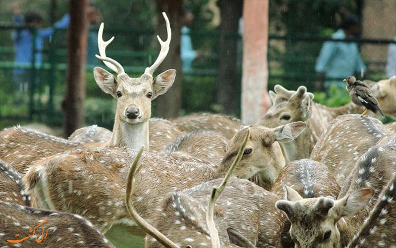 گوزن های خالدار در باغ وحش جیپور