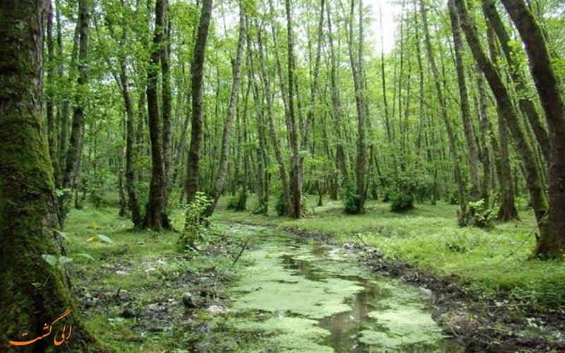 تصویری زیبا از جنگل گیسوم